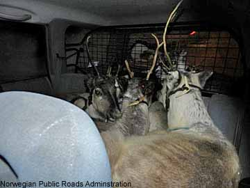 reindeer in a forester