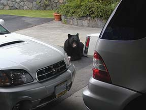 Subaru Baja with turbo and a nosey black bear